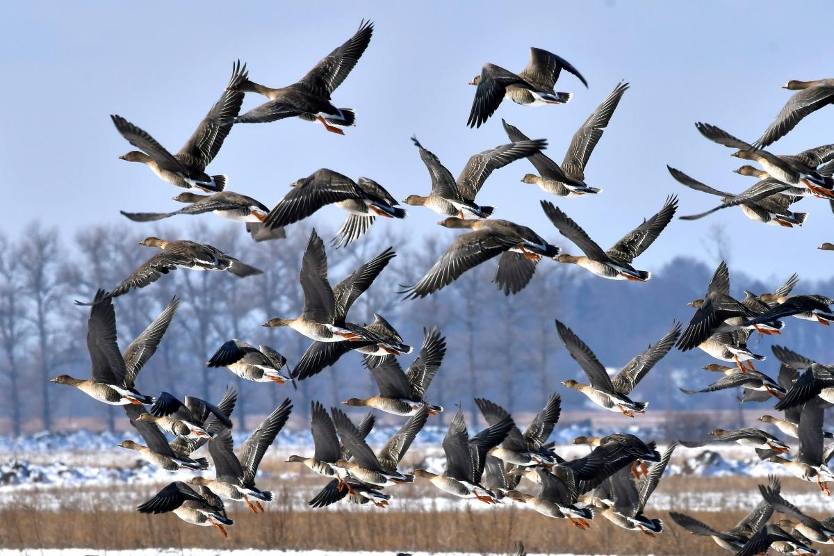 Перелетные птицы украины картинки