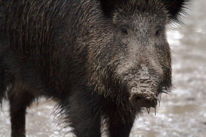 работы африканская чума свиней ярославль 2016 этот